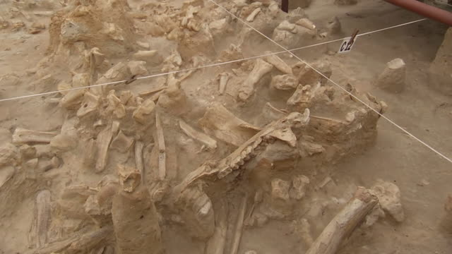 MS Bones in archaeological site / Western Cape, South Africa