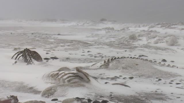Bones Of Earless Seals, Hokkaido, Japan