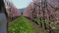 Boom view of woman reaching for peach blossoms in orchard at springtime