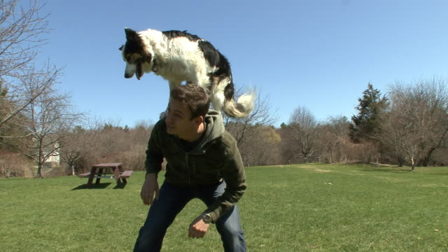 A border collie performs tricks on its owner's back.