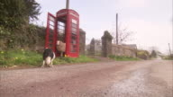 A border collie pins a sheep in a red phone booth, then chases the sheep down the road.