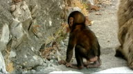 Gibraltar general views Barbary macaques / people taking photographs / baby monkey / monkey on man's shoulder / 'The Angry Friar' / 'British Fish and...