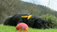 HD: Bored dog
