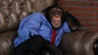 Boss Chimp Relaxing