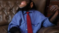 Boss Chimp Shacking Head