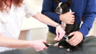 Boston terrier dog getting his nails clipped