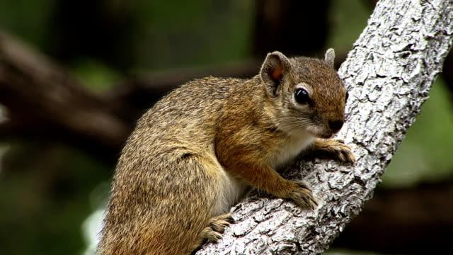 Botswana Tree squirrel