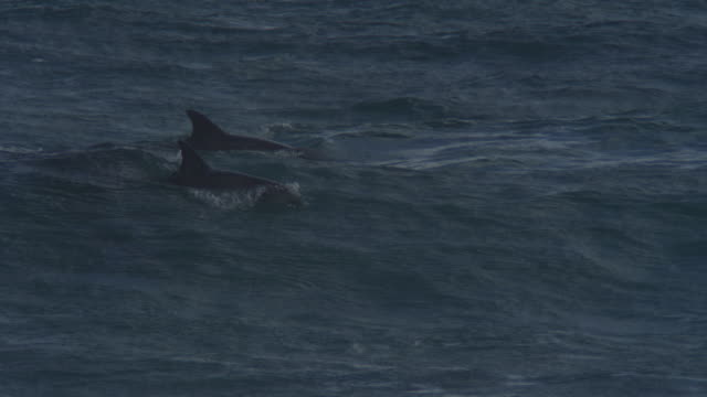 MS Bottlenosed Dolphin group with calf swimming in waves and surfing visible underwater