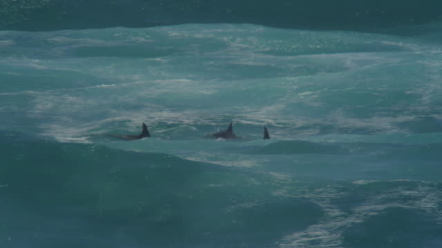Bottlenosed Dolphin group with calf swimming through breaking waves