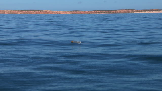 WS Bottlenosed Dolphin with brown sponge on its beak surfaces to breathe with shoreline in background