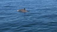 Bottlenosed Dolphin with sponge on its beak surfaces to breathe