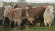 Bovine Cattle in Veracruz