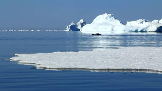 'Bowhead whales, Greenland'