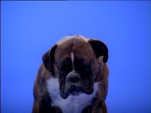 Boxer dog barks and looks around