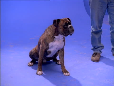 Boxer dog sits next to standing human, twitching ears