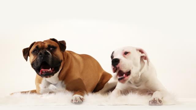 Boxer Friends