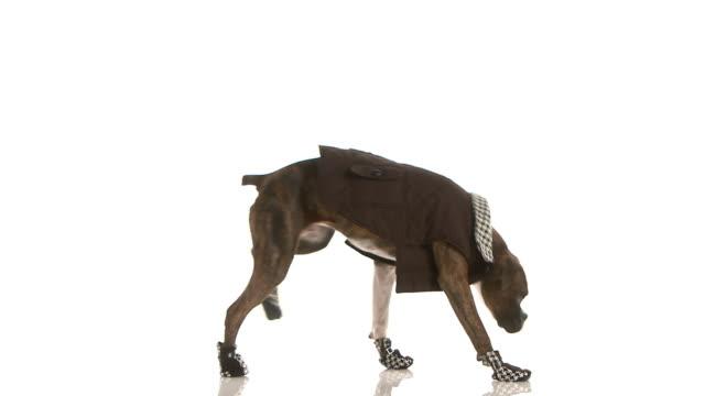 Boxer walks across floor wearing clothes
