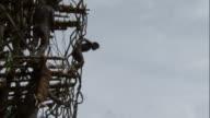 Boy jumps off wooden tower during land diving ritual, Pentecost, Vanuatu