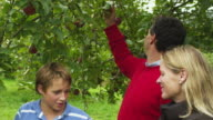 MS PAN Boy (10-11) picking apples with parents in apple orchard, Manchester, Vermont, USA