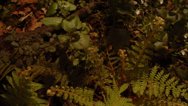 Bracken ferns, stitchworts and white campion plants flutter and reach for the sun as they grow in a shaded woodland. Available in HD.