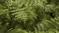 T/L Bracken (Pteridium sp.) growing, United Kingdom, top shot