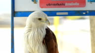 Brahminy kite is catched as pet in the home