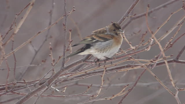 Brambling On Branch In The Snow