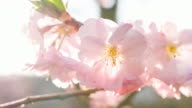 Branch of blooming cherry tree in spring
