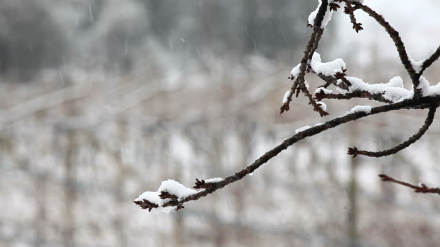 Branch of Tree in the Snow, HD Video