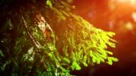 Branch redwoods