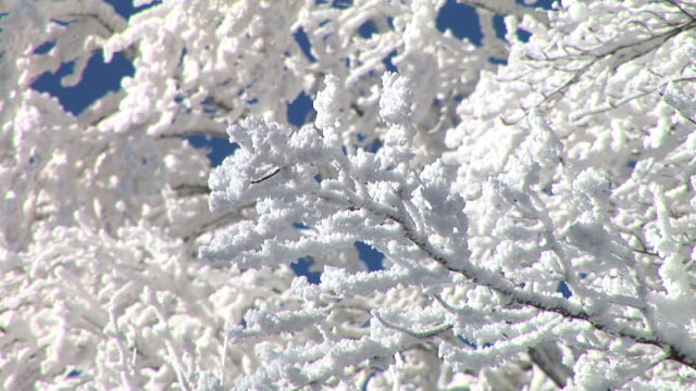HD: Branches covered in snow.