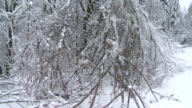Branches Sagging After An Ice Storm