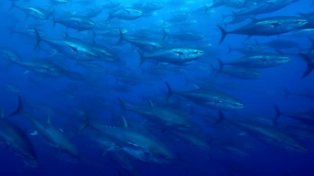 Branco di pesci grandi della specie tonno rosso nuotano in mediterraneo