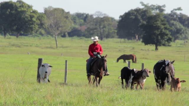 Brazilian cowboy herding cattle