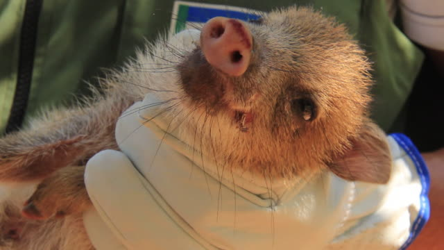 MS Brazilian pig being held by man / Campo Grande, Mato Grosso do Sul, Brazil