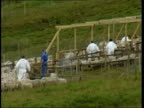 Brecon Beacons GV Flock of foot mouth disease infected sheep herded into pens by DEFRA officials in protective overalls in preperation for culling...