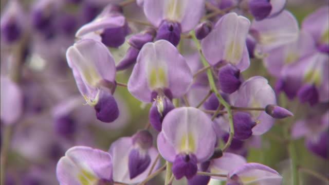 A breeze moves through lavender wisteria vines.