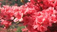 A breeze rustles pink azaleas.