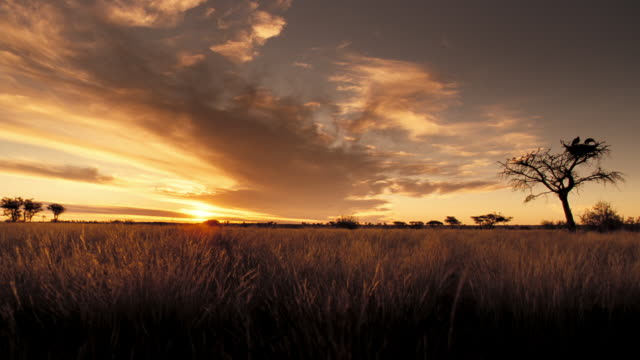 A breeze whips through the grass on the Kalahari. Available in HD.