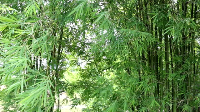 bright green bamboo tree in rural area and have wind blow.