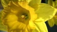 Bright yellow daffodils in the sun.