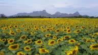 Leuchtend gelbe Sonnenblumen an Wat Khao Jeen Lae, Lopburi, Thailand