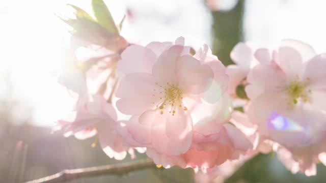 Fel verlicht kersenbloesem op een mooie zonnige dag in de zomer bij zonsondergang