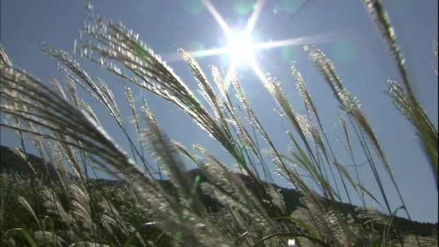 A brilliant sun shines above Japanese pampas grass.