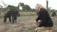 British conservationist Dr Jane Goodall known for her studies of chimpanzees in the wild visits Kenyas only chimp sanctuary urging more to be done to...
