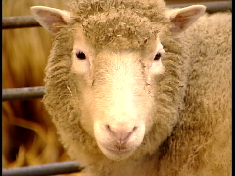 British scientist wants to clone human embryos LIB Edinburgh Roslin Institute CMS Dolly the cloned sheep in pen