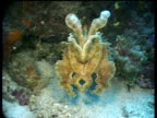 MS Broadclub Cuttlefish changes colour while swimming over reef, darts away, Sipadan, Borneo, Malaysia