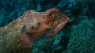 Broadclub cuttlefish changing color to warn scuba diver undersea