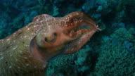 Kuttelfisch Farbe ändern, um den Taucher Unterwasser