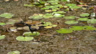 Bronze winged Jacana is alone, a migratory bird of the wetlands